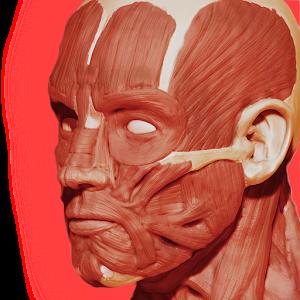 Мышечная система 3D