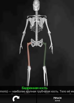 Бедренная кость
